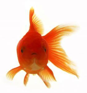 20070604_gold_fish_1