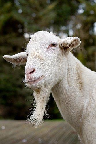 Billy_goat_saturnine_94112_l